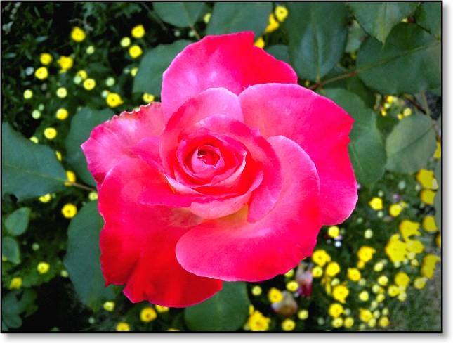 rosepic