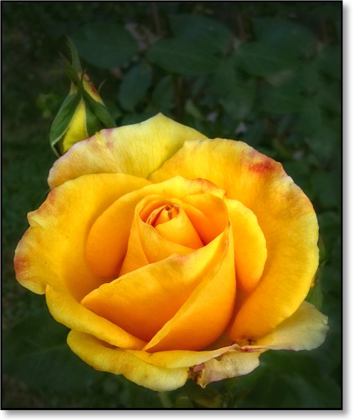 yellowflower1a