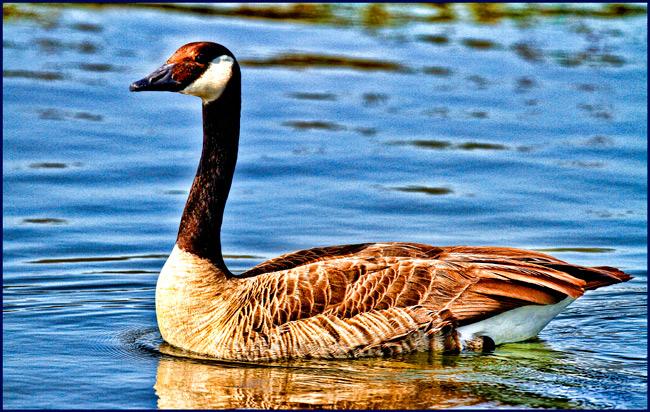 duckswim1_650px
